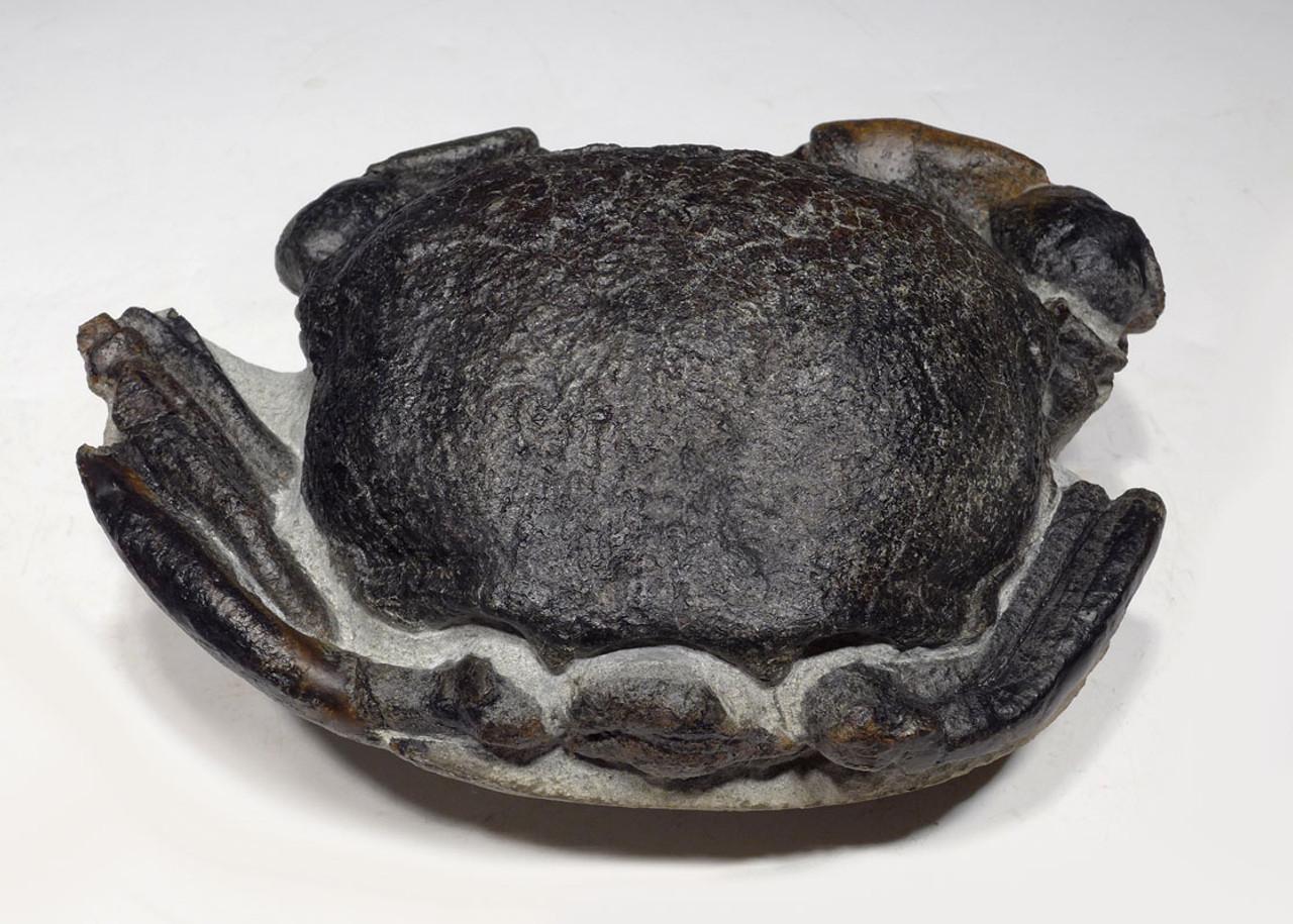 CRUS039 - LARGE FOSSIL STONE CRAB TUMIDOCARCINUS GIGANTEUS FROM THE MIOCENE OF NEW ZEALAND