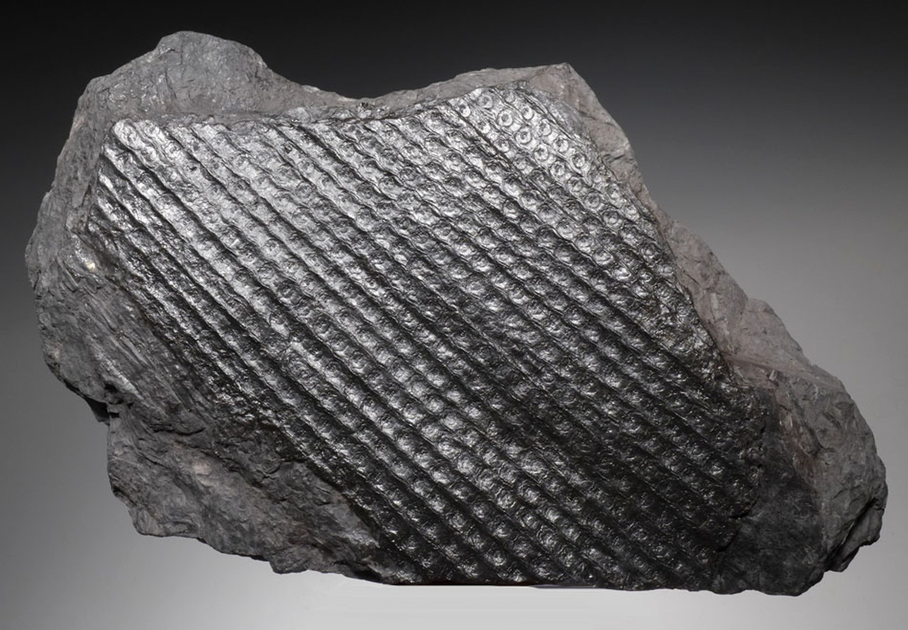 PL073 - RARE SIZE HUGE THREE DIMENSIONAL SIGILLARIA ELEGANS CARBONIFEROUS PLANT FOSSIL TRUNK SECTION