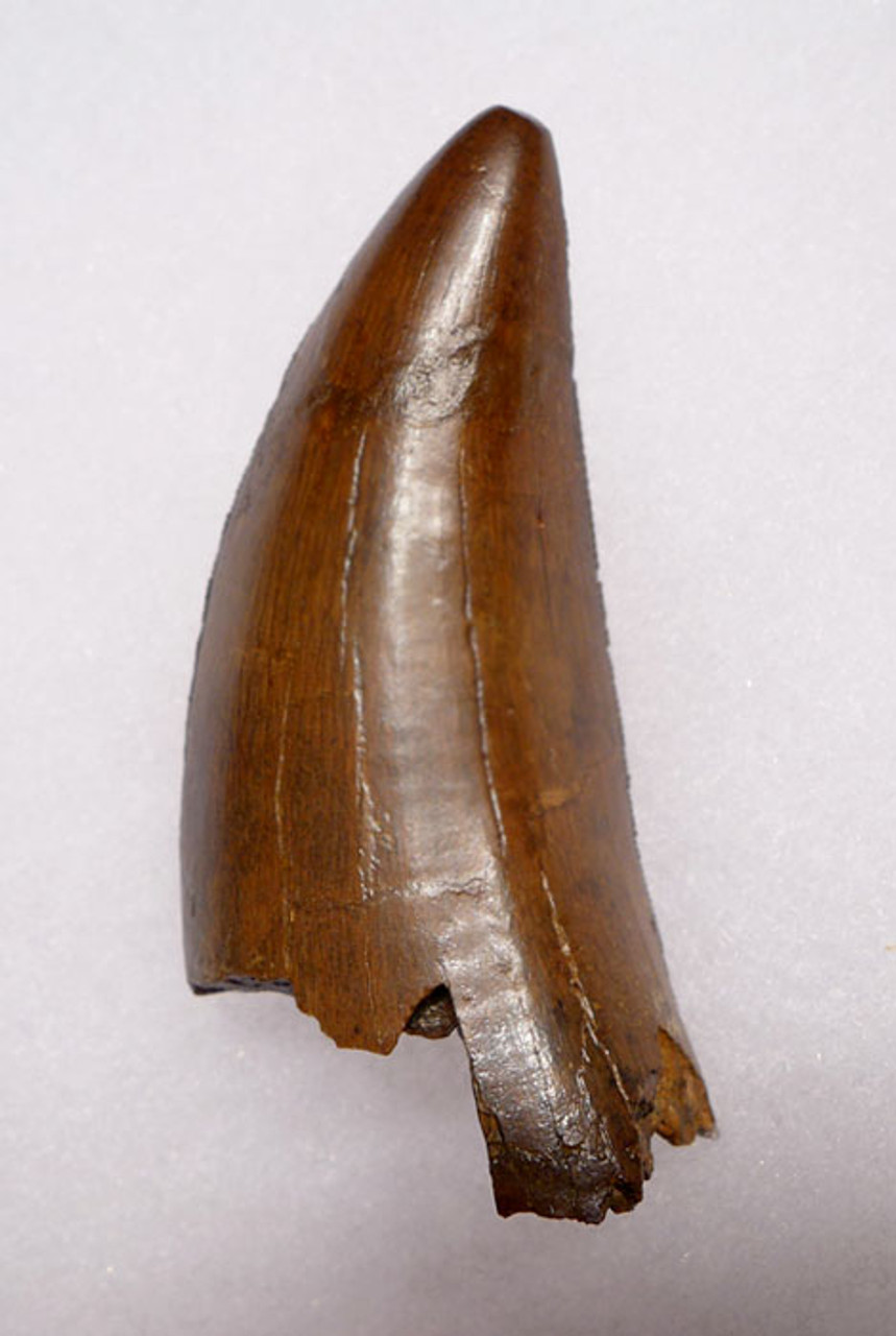 DT18-089 - ULTRA RARE 2.75 INCH LARGE INVESTMENT GRADE TYRANNOSAURUS REX TOOTH