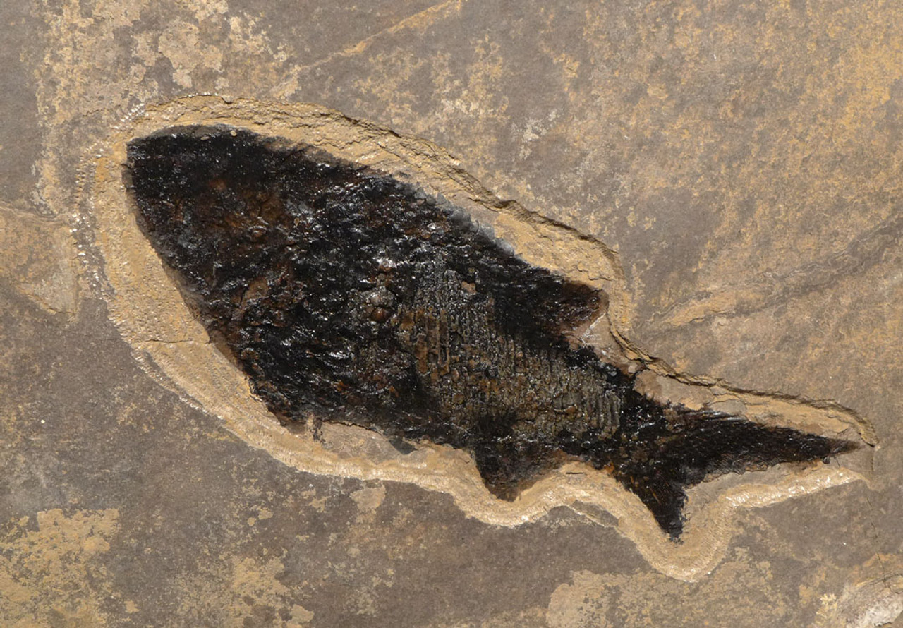 F149 - LARGE DETAILED PARAMBLYPTERUS PERMIAN FISH FOSSIL FROM BEFORE THE DINOSAURS