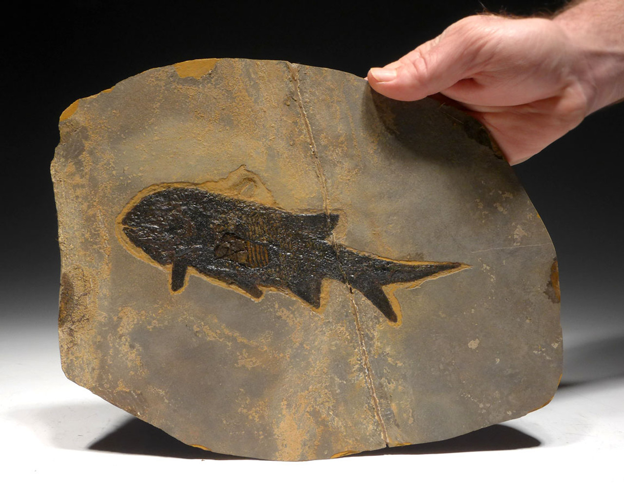 F158 - LARGE SUPREME PARAMBLYPTERUS PERMIAN FISH FOSSIL FROM BEFORE THE DINOSAURS