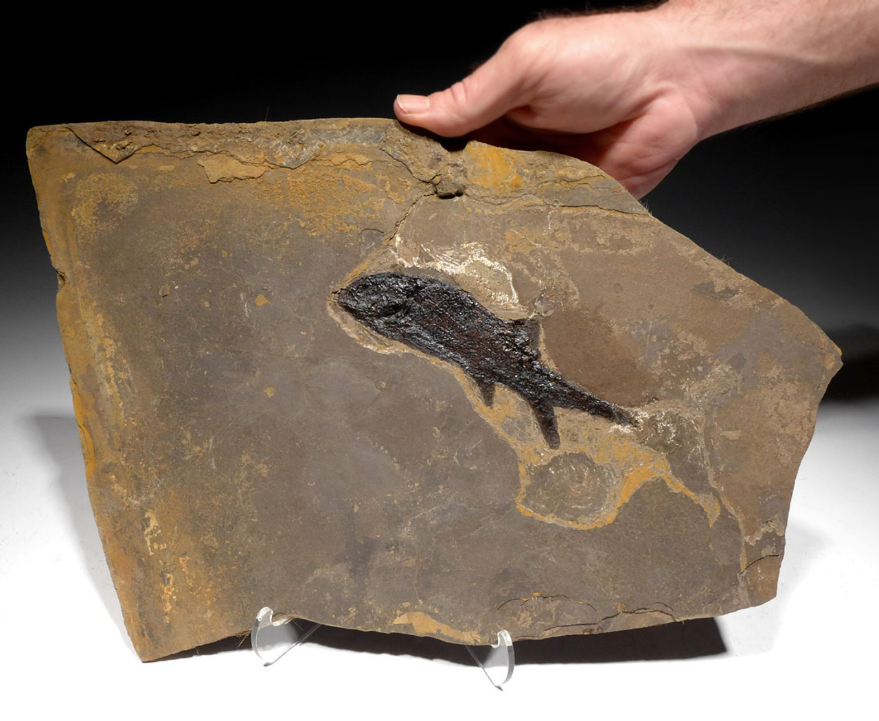 F148 - PARAMBLYPTERUS PERMIAN FISH FOSSIL FROM BEFORE THE DINOSAURS