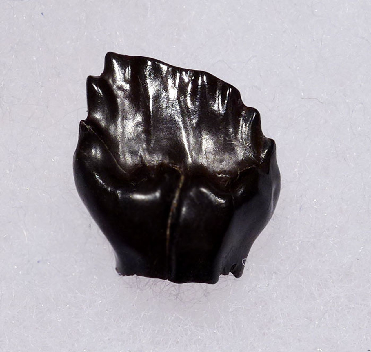 DT10-127 -  EXCEPTIONAL LARGE FOSSIL EDMONTONIA DINOSAUR TOOTH FROM AN ARMORED ANKYLOSAUR