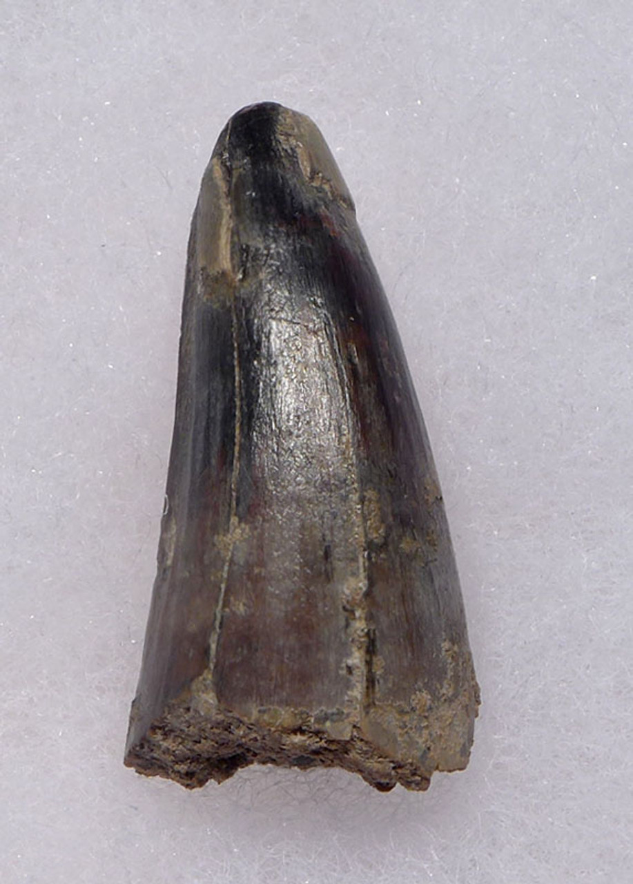 CROC057 - JAVA MAN KILLER RARE FOSSIL CROCODILE TOOTH FROM THE FAMOUS HOMO ERECTUS DEPOSITS OF SOLO RIVER