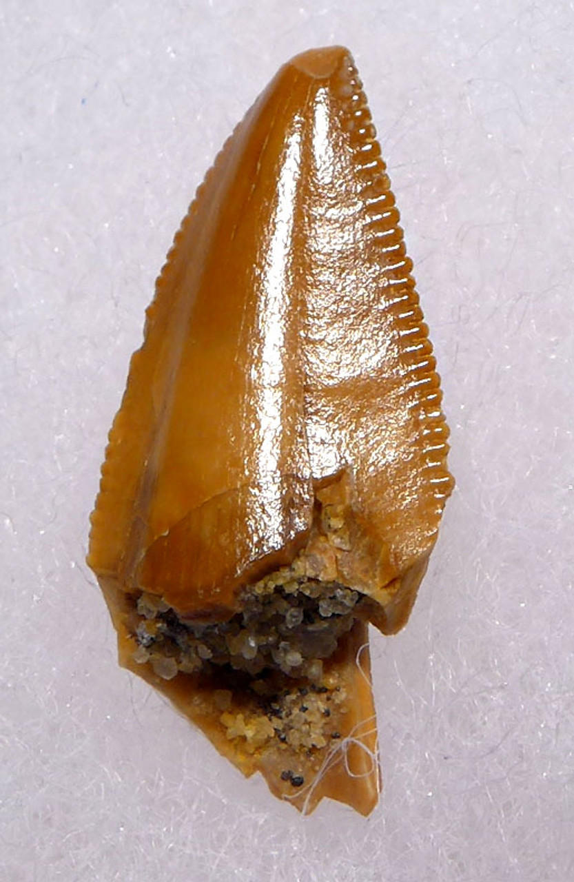 "DT6-284 - EXCELLENT INTACT DROMAEOSAUR "" RAPTOR "" DINOSAUR TOOTH FROM THE FRONT OF THE JAW"