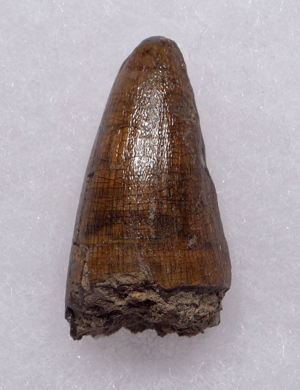 CROC052 - JAVA MAN KILLER CROCODILE FOSSIL TOOTH FROM THE FAMOUS HOMO ERECTUS DEPOSITS OF SOLO RIVER INDONESIA