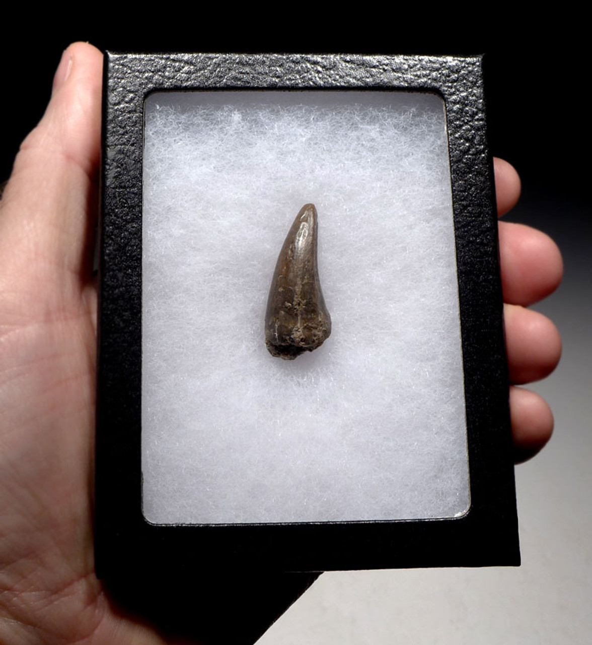 CROC051 - JAVA MAN KILLER CROCODILE FOSSIL TOOTH FROM THE FAMOUS HOMO ERECTUS DEPOSITS OF SOLO RIVER INDONESIA