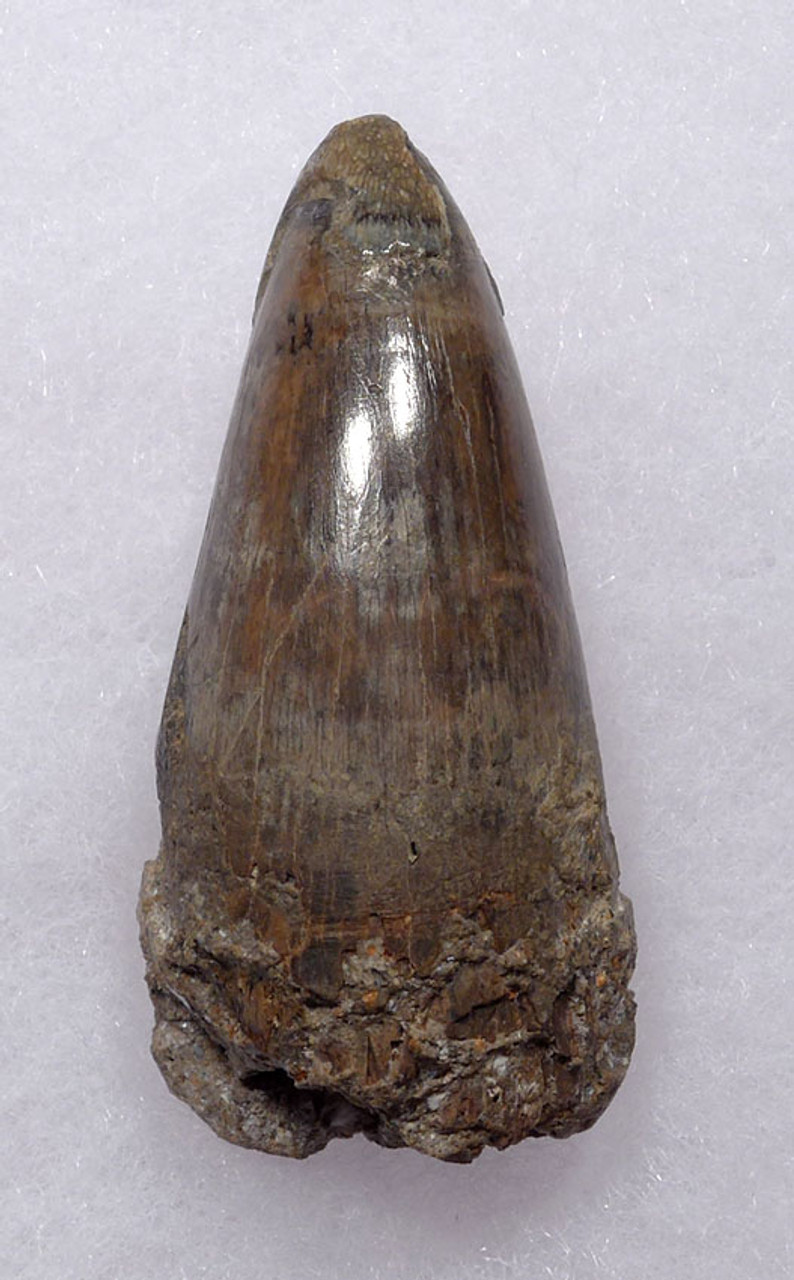 CROC050 - JAVA MAN KILLER RARE LARGE FOSSIL CROCODILE TOOTH FROM THE FAMOUS HOMO ERECTUS DEPOSITS OF SOLO RIVER