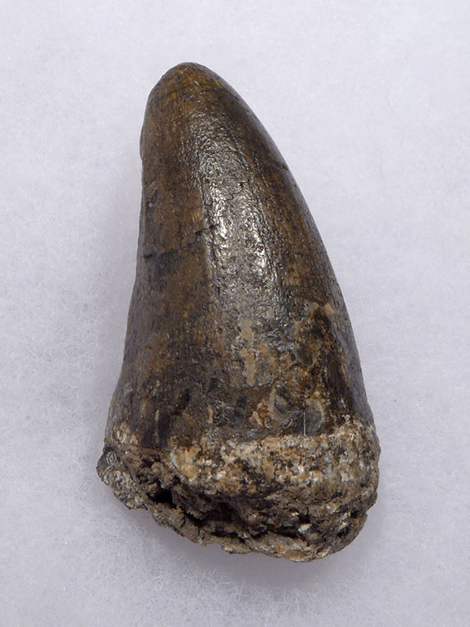 CROC047 - JAVA MAN KILLER RARE LARGE FOSSIL CROCODILE TOOTH FROM THE FAMOUS HOMO ERECTUS DEPOSITS OF SOLO RIVER