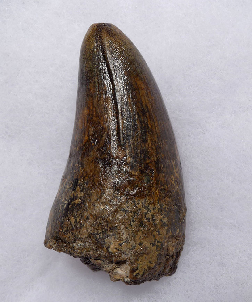 CROC048 - OUR LARGEST AND FINEST FOSSIL TOOTH FROM A JAVA MAN KILLER PREHISTORIC CROCODILE OF THE FAMOUS HOMO ERECTUS DEPOSITS OF SOLO RIVER INDONESIA