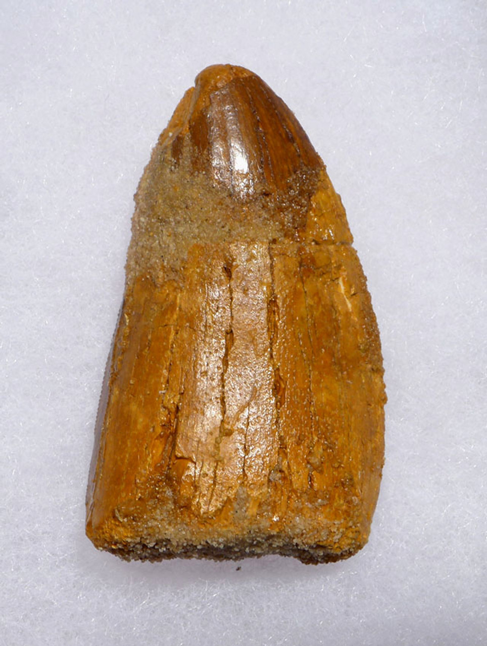 DT2-088 - FAT CARCHARODONTOSAURUS DINOSAUR FOSSIL TOOTH FROM THE LARGEST MEAT-EATING DINOSAUR