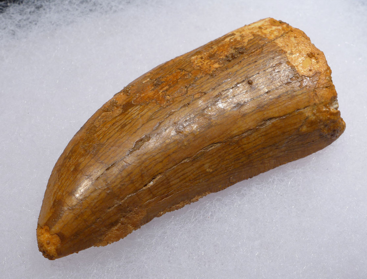 DT2-087 - THICK 2.5 INCH UNBROKEN CARCHARODONTOSAURUS FOSSIL TOOTH FROM THE LARGEST MEAT-EATING DINOSAUR