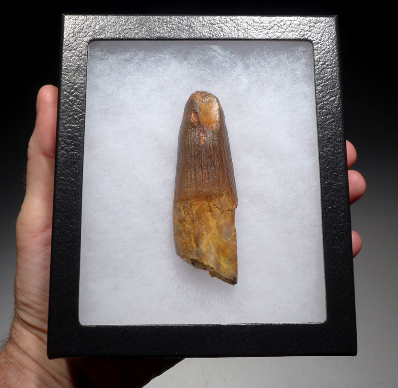 DT5-308 - UNBROKEN LARGE 3.75 INCH SPINOSAURUS TOOTH FROM A HUGE DINOSAUR
