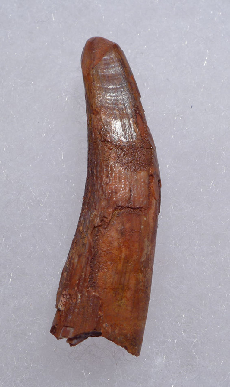 DT4-096 - ROBUST CRETACEOUS PTERODACTYL SIROCCOPTERYX PTEROSAUR FOSSIL TOOTH WITH FEEDING WEAR