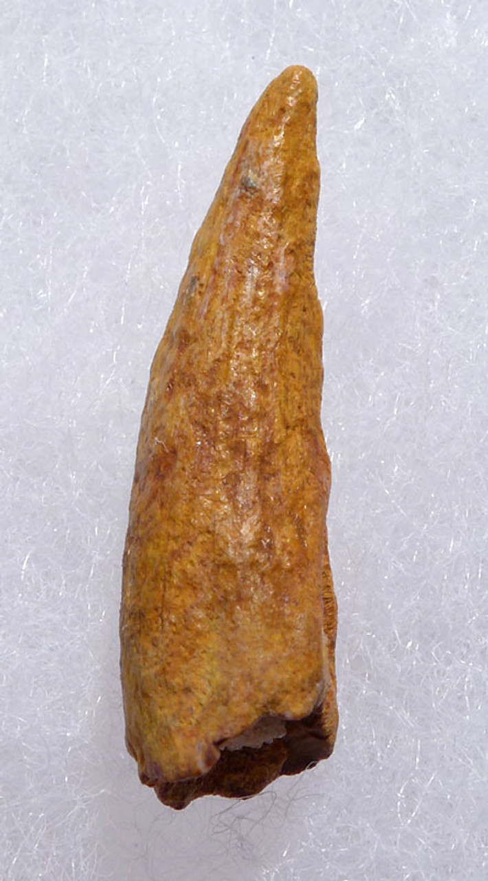 DT4-097 - CRETACEOUS PTERODACTYL PTEROSAUR TOOTH WITH SHARP TIP