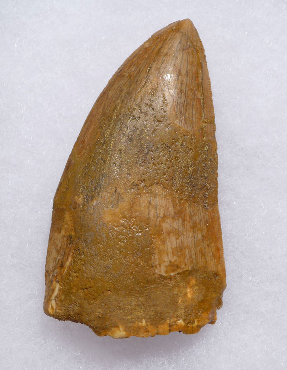 DT2-089 - BROAD 3 INCH FOSSIL DINOSAUR TOOTH FROM A MAXIMUM SIZE CARCHARODONTOSAURUS