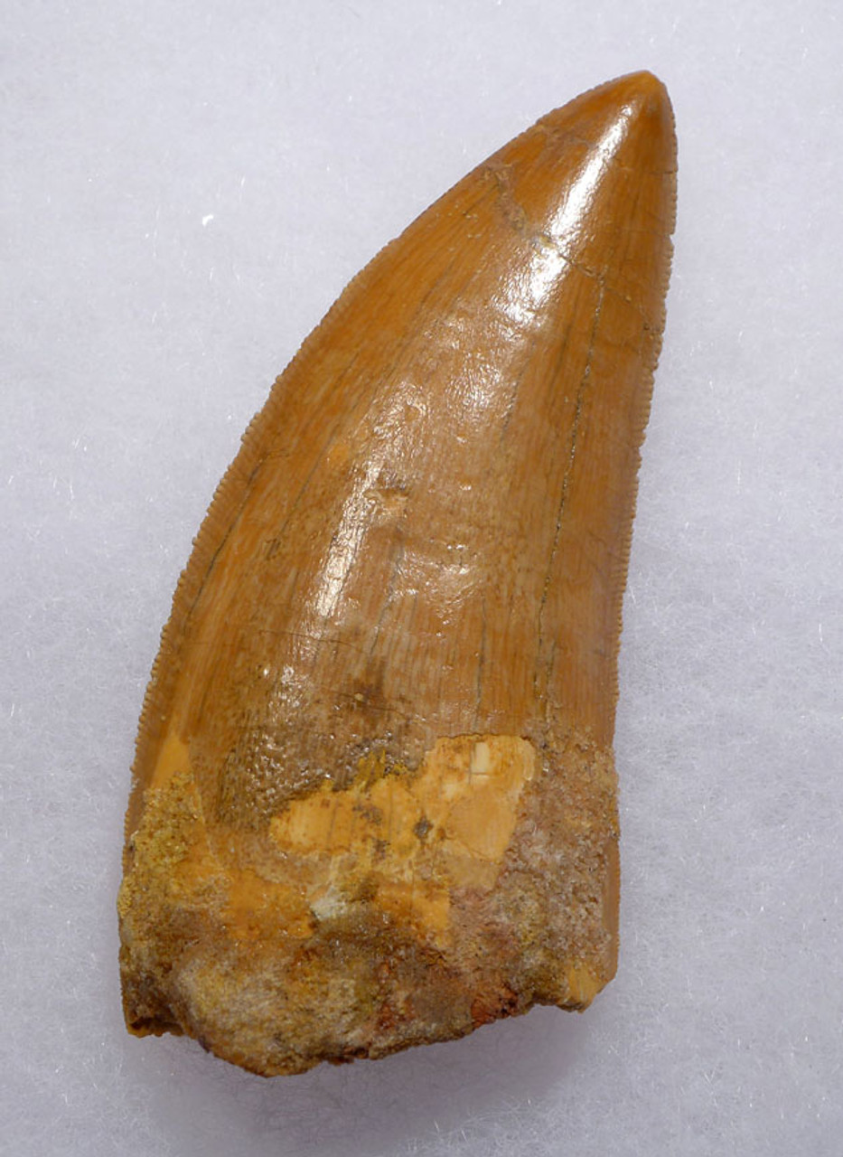 DT2-090 - INVESTMENT GRADE 3.1 INCH CARCHARODONTOSAURUS DINOSAUR TOOTH