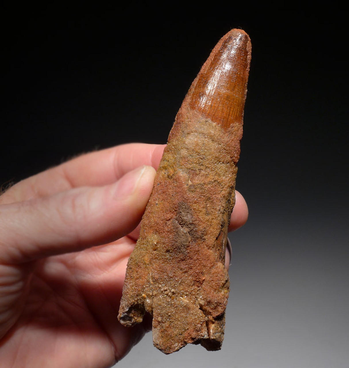 DT5-291 - IMPRESSIVE 4.5 INCH SPINOSAURUS FOSSIL TOOTH FROM A HUGE DINOSAUR