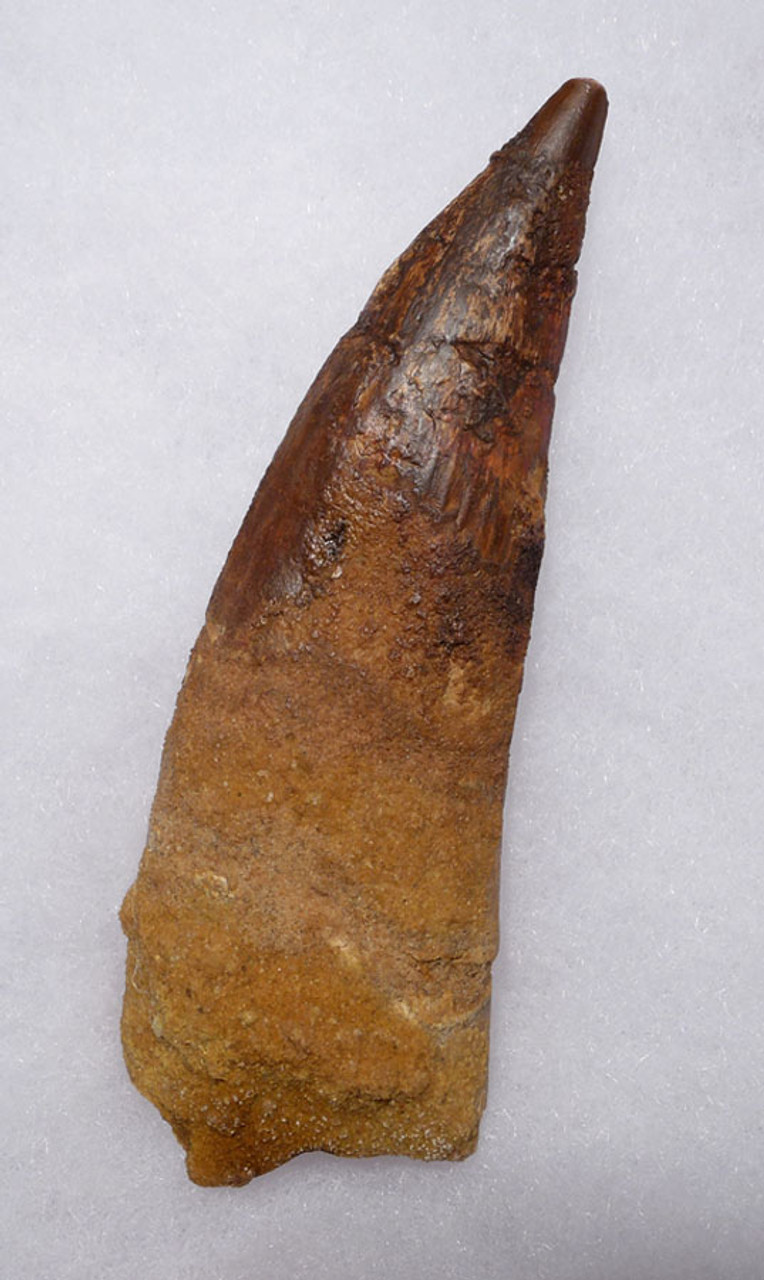 DT5-293 - RARE 5 INCH SPINOSAURUS FOSSIL TOOTH FROM A HUGE DINOSAUR