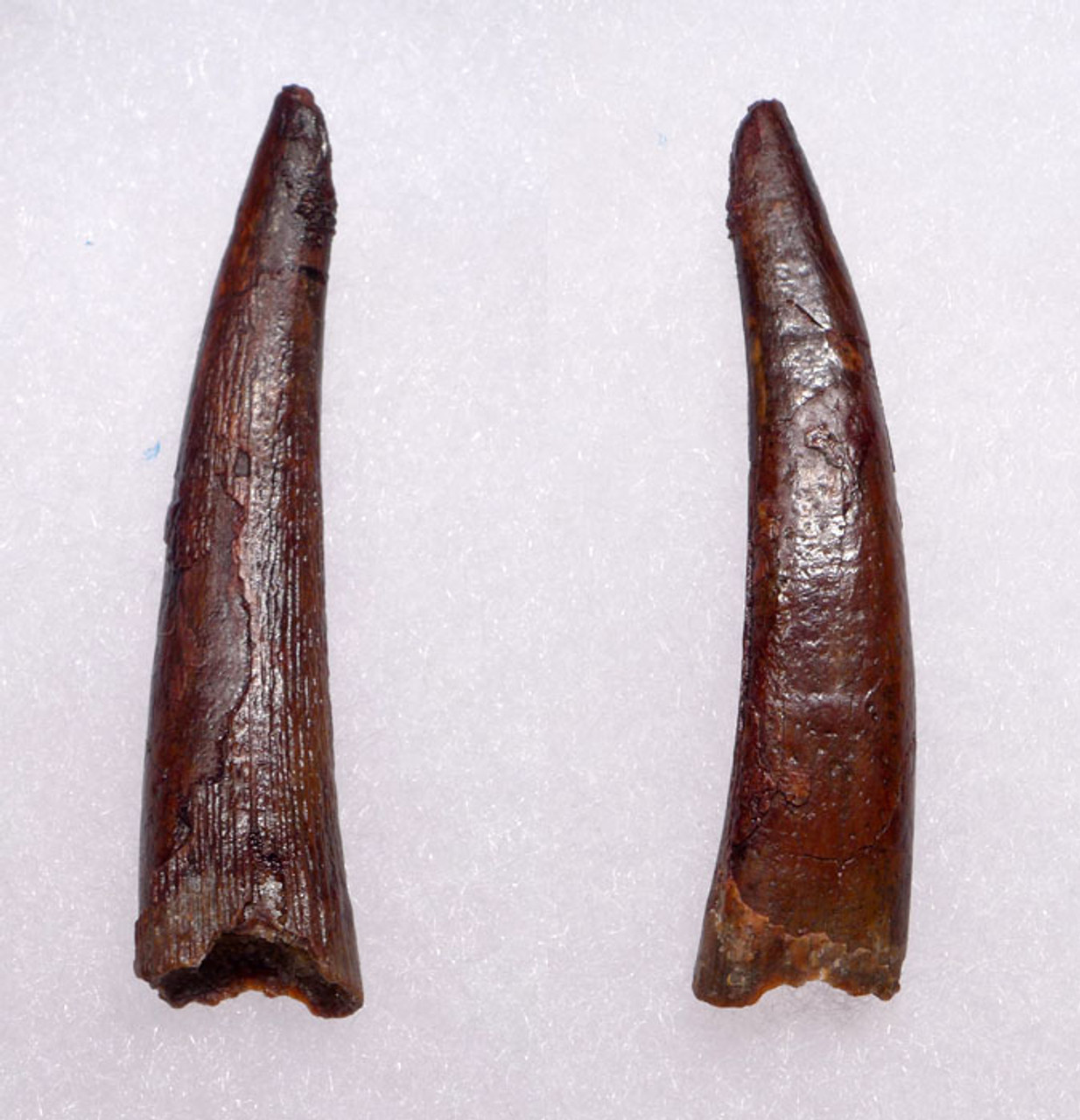 DT4-056 - LARGE 1.85 INCH CRETACEOUS PTEROSAUR PTERODACTYL FOSSIL TOOTH