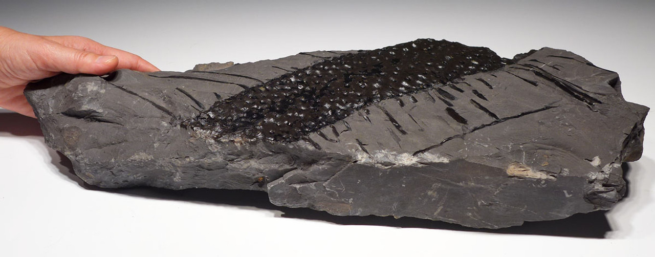 PLX011 - RARE GIANT STIGMARIA FICOIDES FOSSIL WITH PRESERVED ROOTLETS FROM THE CARBONIFEROUS