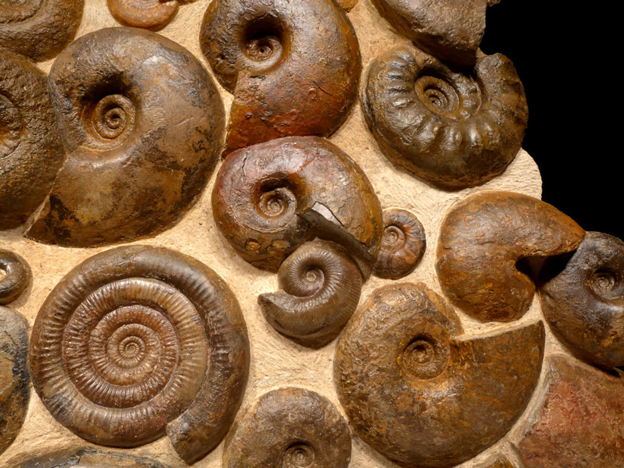 """AMX331 - MASSIVE 36"""" AMMONITE WALL FILLED WITH 28 RARE JURASSIC OCEAN LIFE FOSSILS OF SUPERB PRESERVATION"""