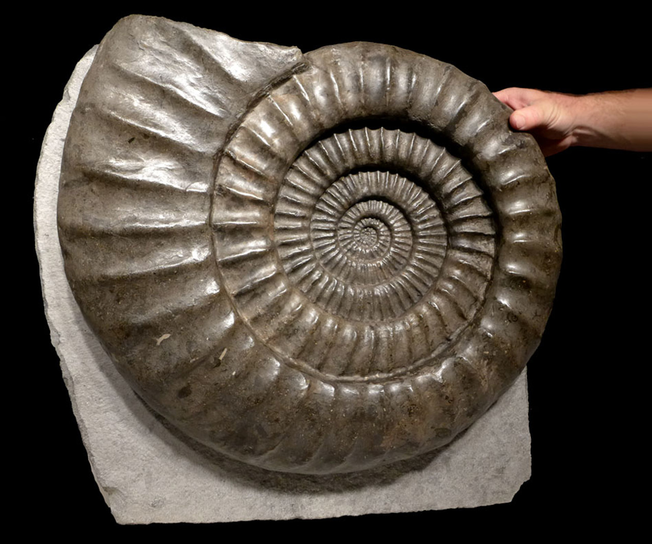 AMX332 - GIANT 23 INCH BLACK ARIETITES AMMONITE FROM THE JURASSIC PERIOD OF FRANCE
