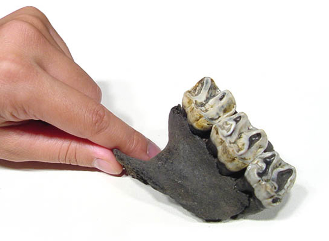 LM44-004 - LARGE COMPLETE FOSSIL TAPIR LEFT MOLAR SET WITH MAXILLA JAW BONE ATTACHED