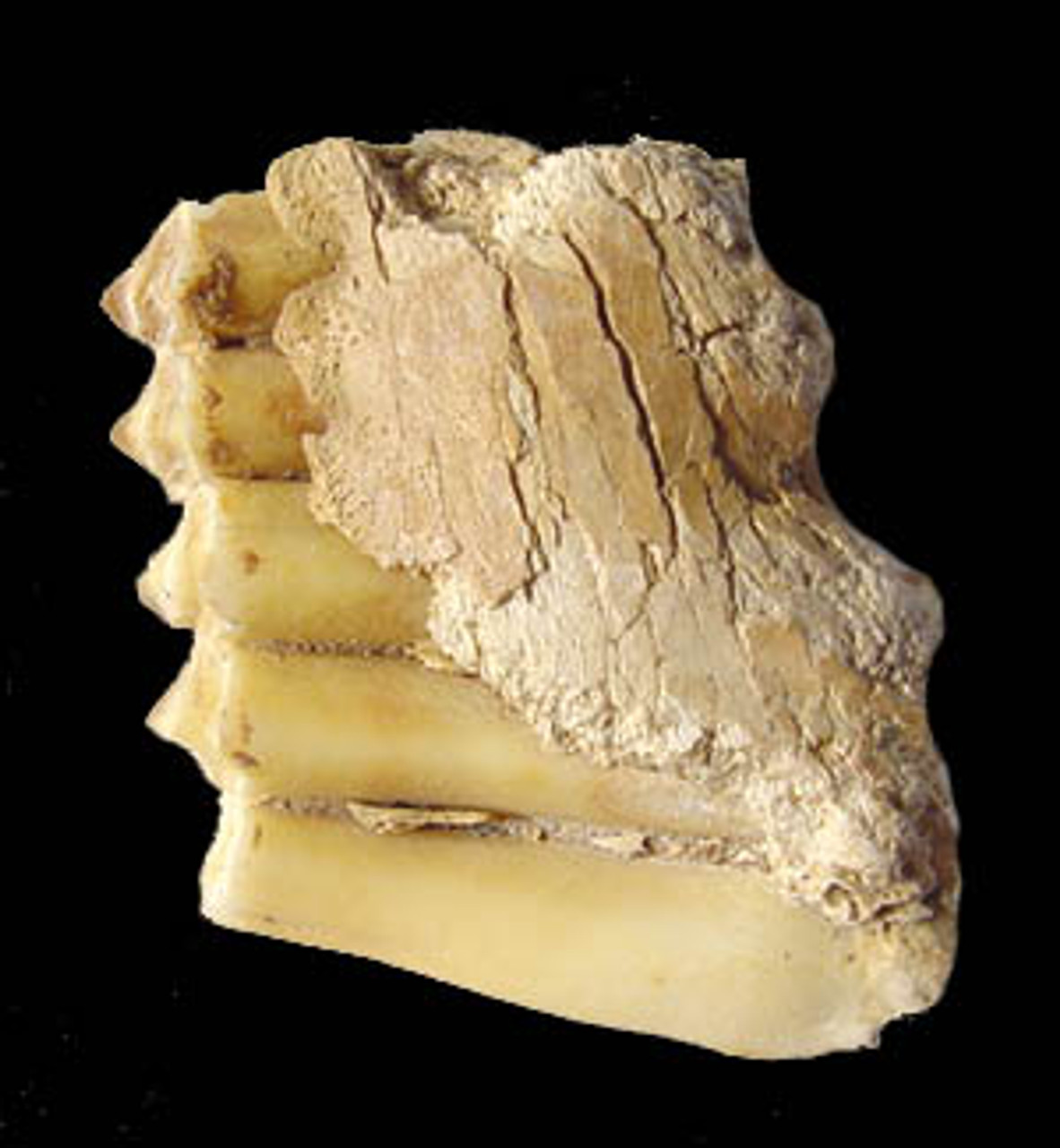 LM42-009 - RARE ICE AGE CAPRA IBEX FOSSIL PARTIAL JAW WITH PRIMARY MOLAR TOOTH