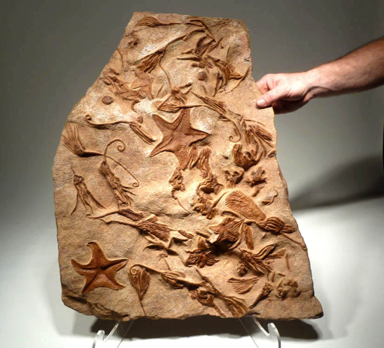 SF025 - RARE MUSEUM GRADE GIANT PREHISTORIC STARFISH AND SEA LILY CRINOID FOSSIL SLAB OF A MASS EXTINCTION EVENT