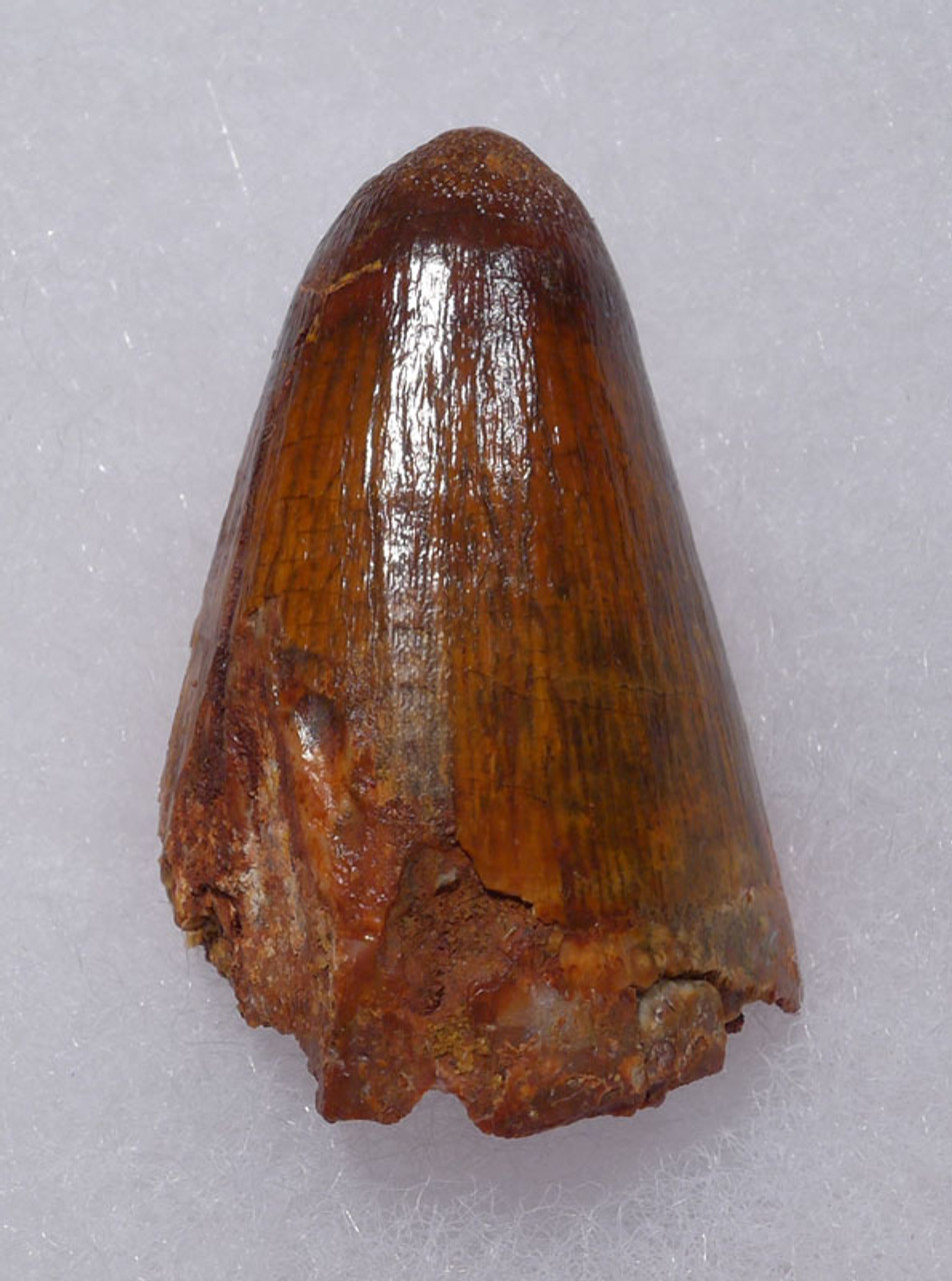 CROC060 - LARGE BONE-CRUSHING FOSSIL CROCODILE TOOTH FROM THE CRETACEOUS DINOSAUR-ERA