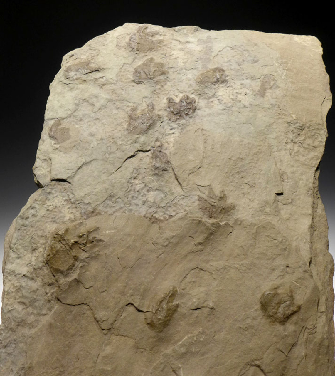 AMPH049 - PALEOZOIC TETRAPOD FOOTPRINTS ICHNOFOSSIL FROM THE PERMIAN DEPOSITS OF WESTERN GERMANY