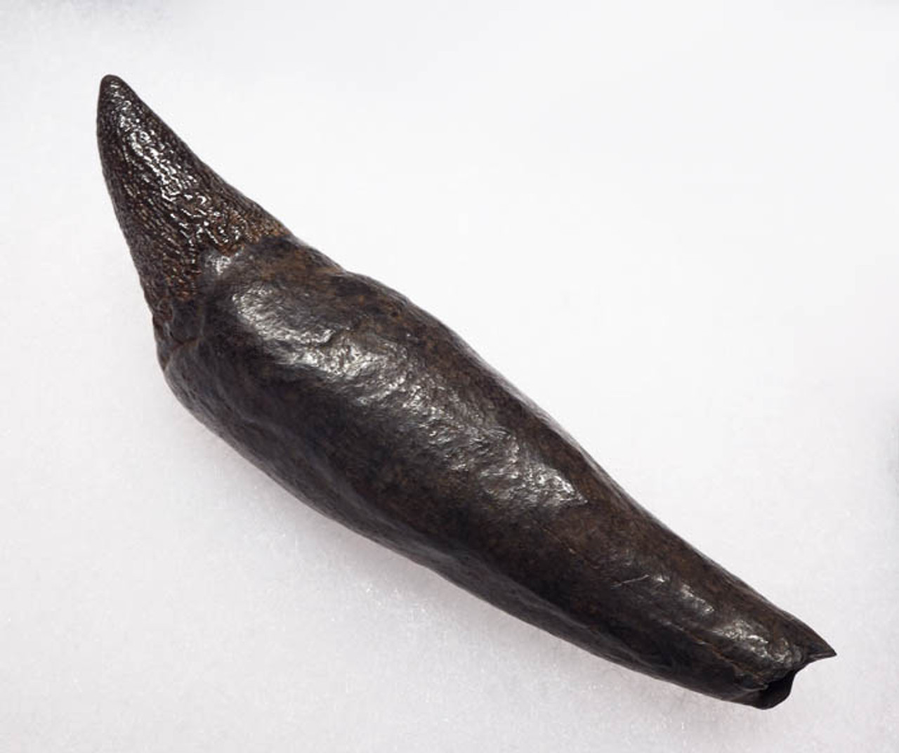 WH013 - COMPLETE 4 INCH PREHISTORIC SPERM WHALE TOOTH WITH SHARP UNWORN TIP AND FULL ROOT