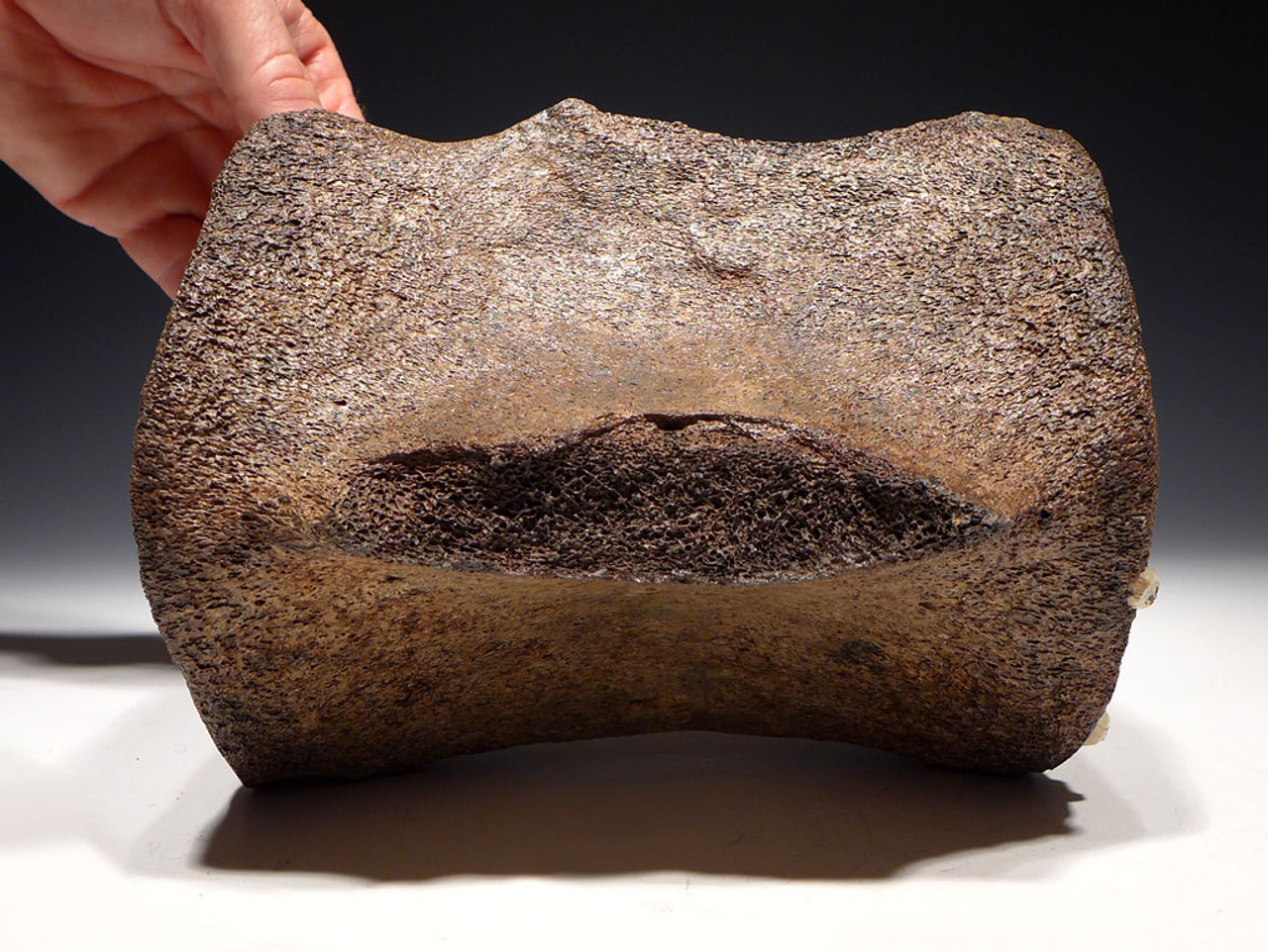 WH026  - EXCEPTIONALLY RARE LARGE PREHISTORIC FOSSIL WHALE VERTEBRA WITH CHOICE PRESERVATION