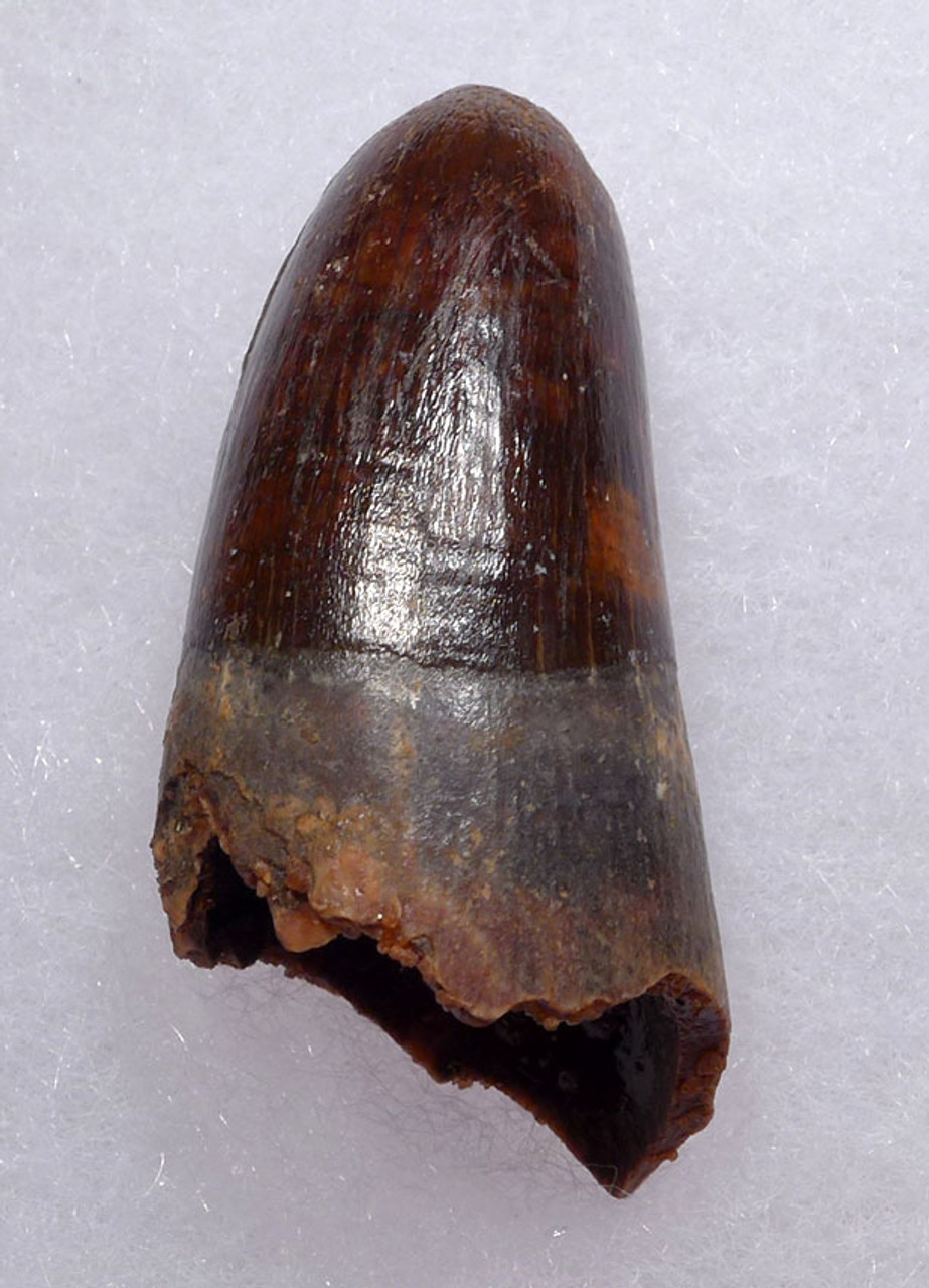 CROC064 - FINEST QUALITY FOSSIL CROCODILE TOOTH FROM THE CRETACEOUS DINOSAUR-ERA