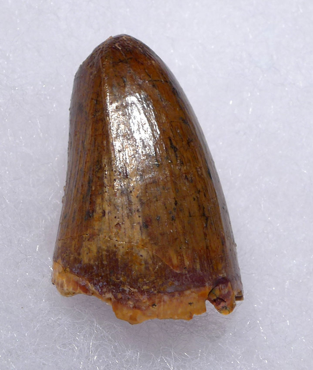 CROC063 - FINEST QUALITY FOSSIL CROCODILE TOOTH FROM THE CRETACEOUS DINOSAUR-ERA