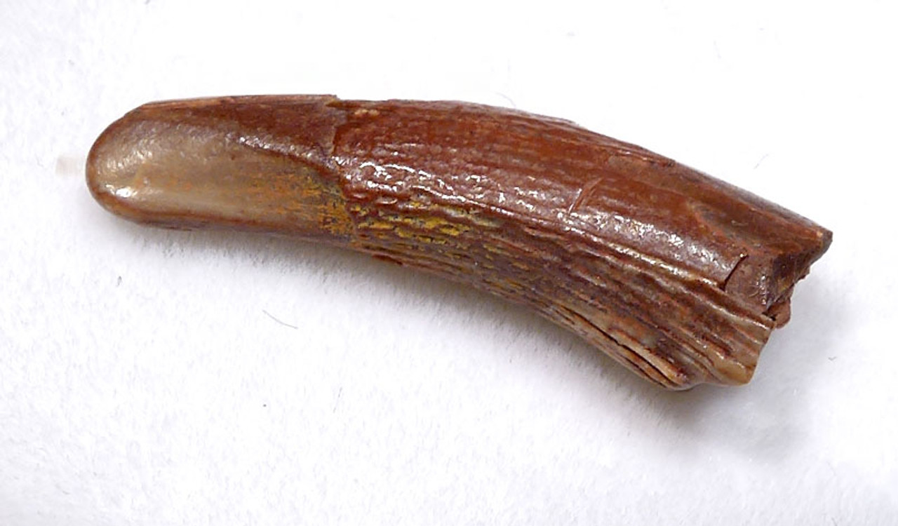 DT4-101 - CRETACEOUS PTERODACTYL PTEROSAUR FOSSIL TOOTH