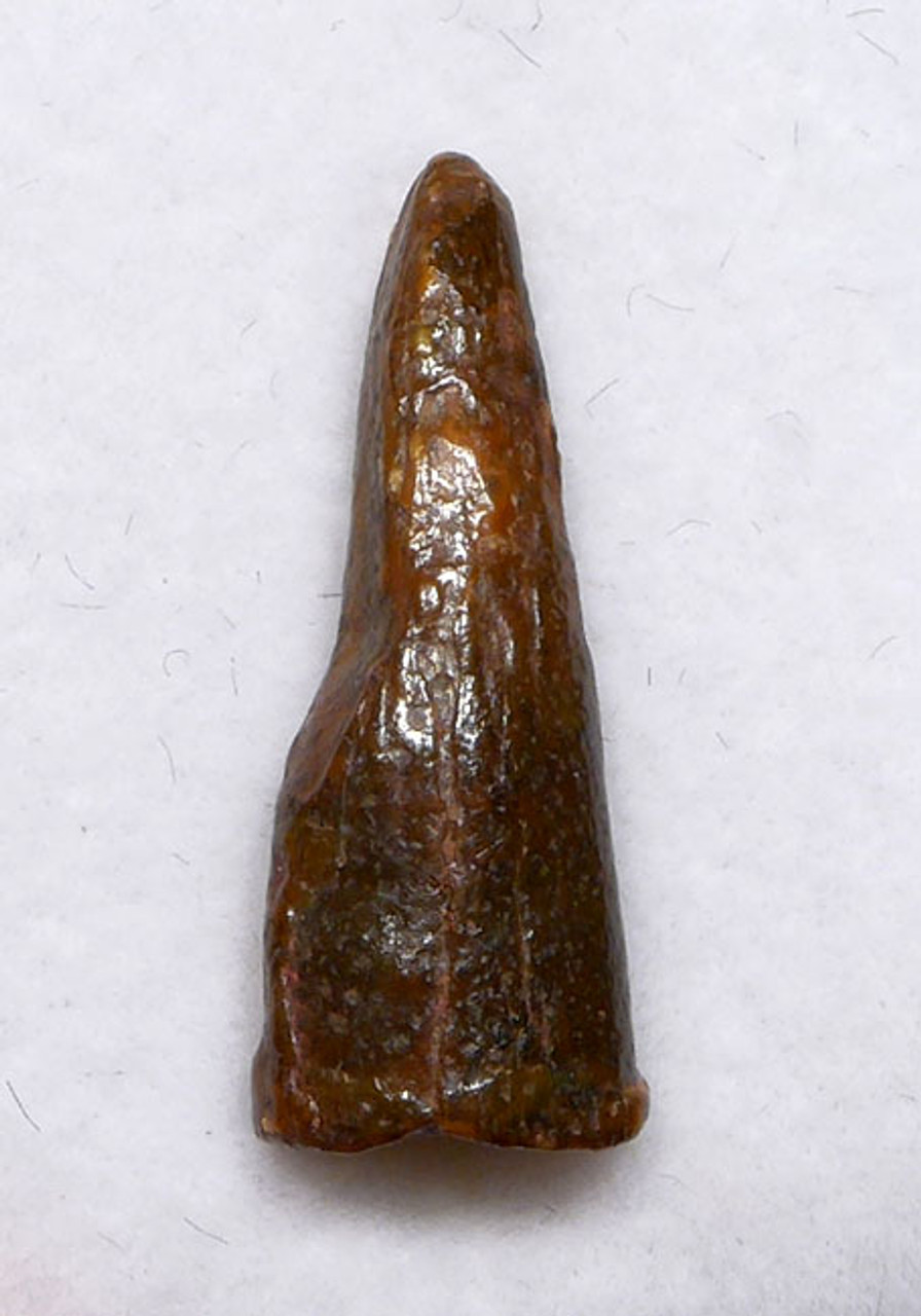DT4-100 - CRETACEOUS PTERODACTYL PTEROSAUR FOSSIL TOOTH
