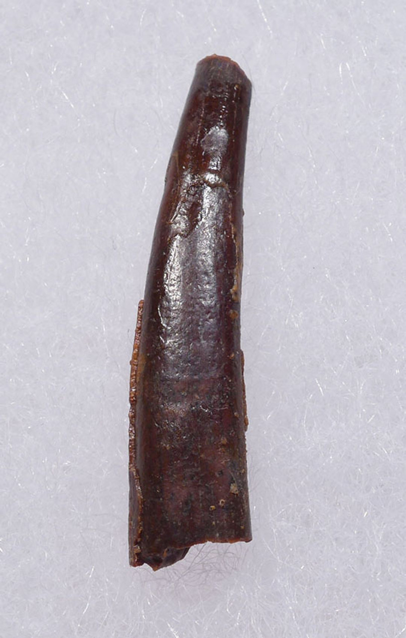 DT4-099 - CRETACEOUS PTERODACTYL PTEROSAUR FOSSIL TOOTH
