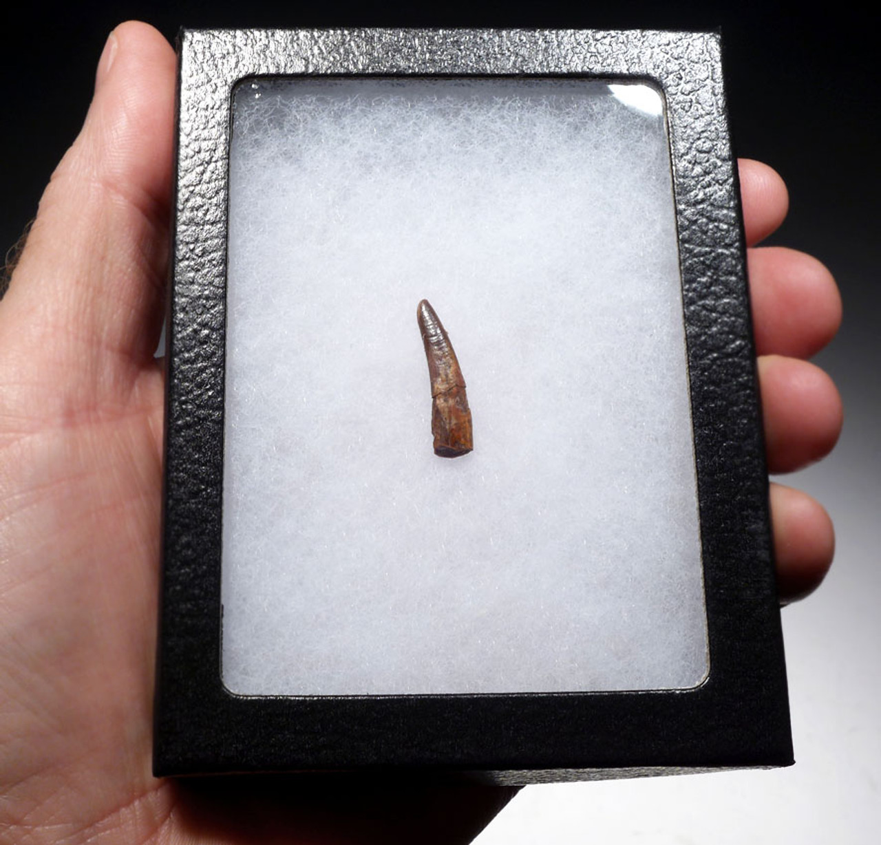 DT4-098 - CRETACEOUS PTERODACTYL PTEROSAUR FOSSIL TOOTH