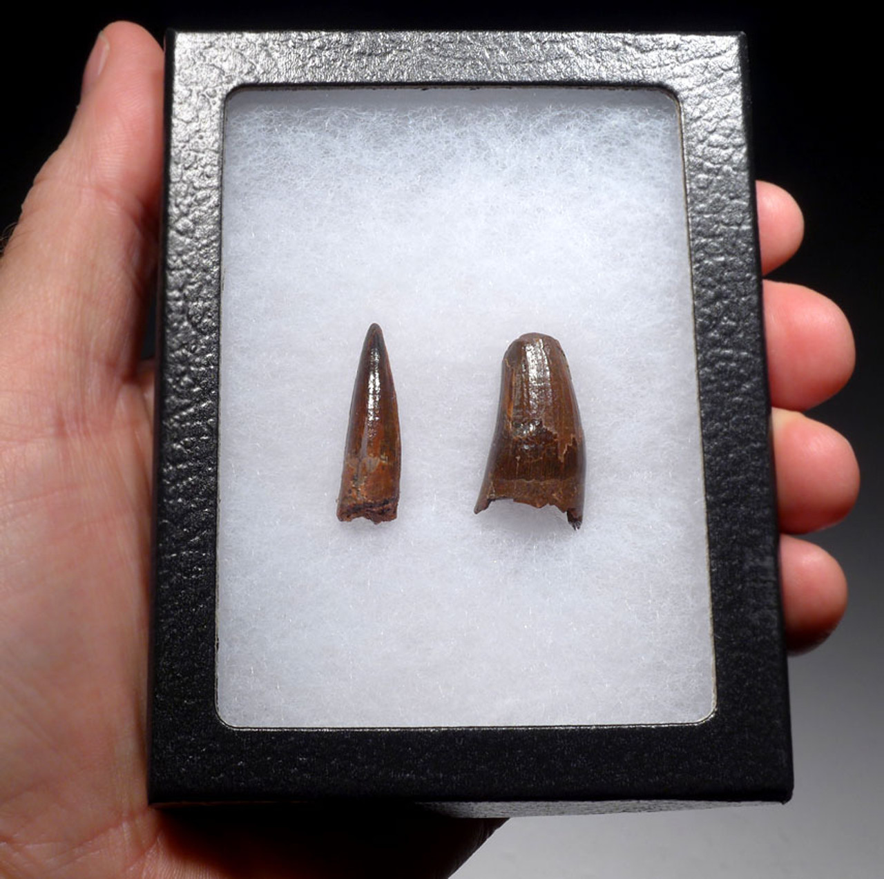 DT5-314 - SET OF TWO PREMIUM SPINOSAURUS ADULT AND BABY DINOSAUR FOSSIL TEETH