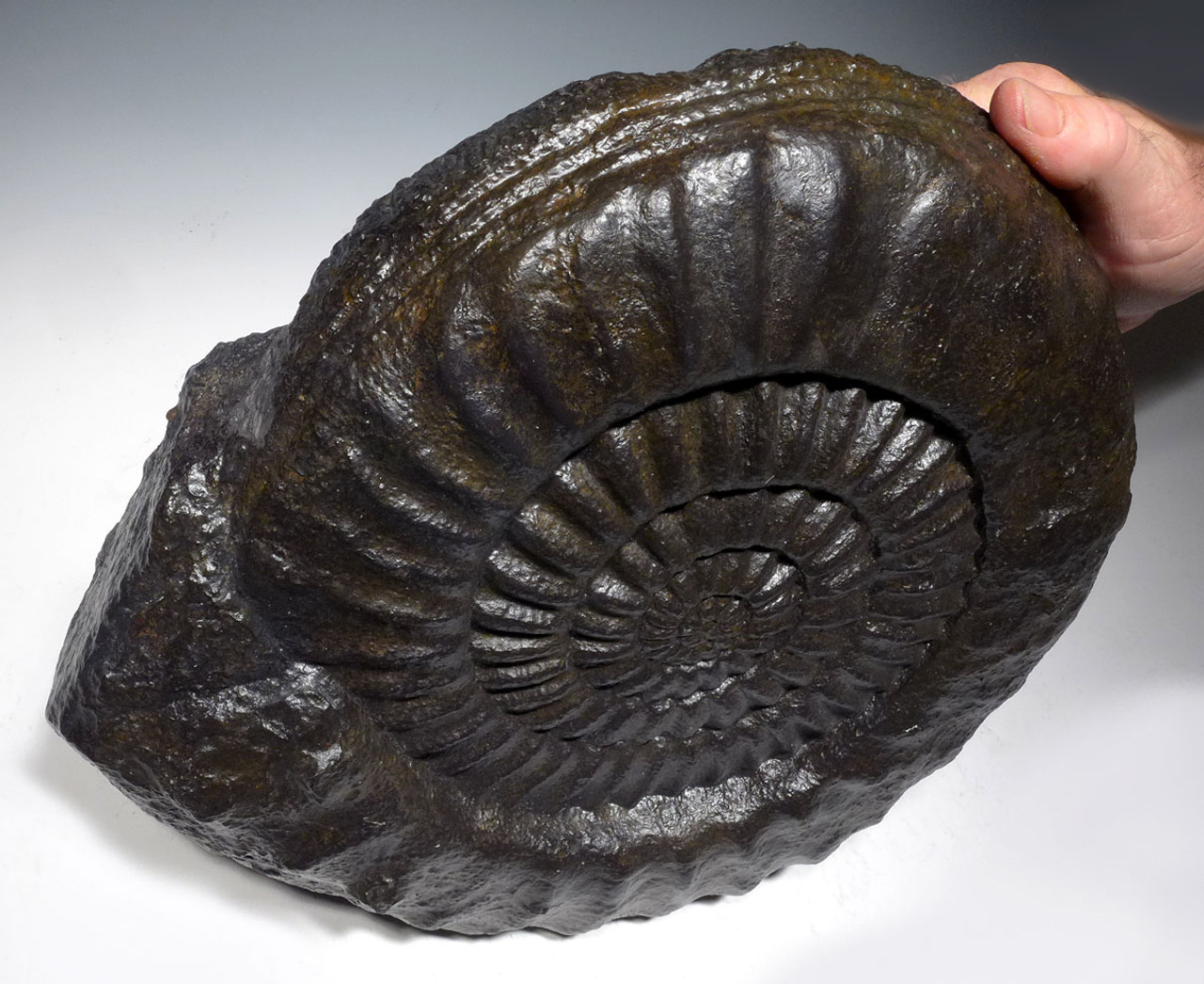 AMX391 - STUNNING LARGE ARIETITES AMMONITE FROM THE JURASSIC PERIOD OF FRANCE