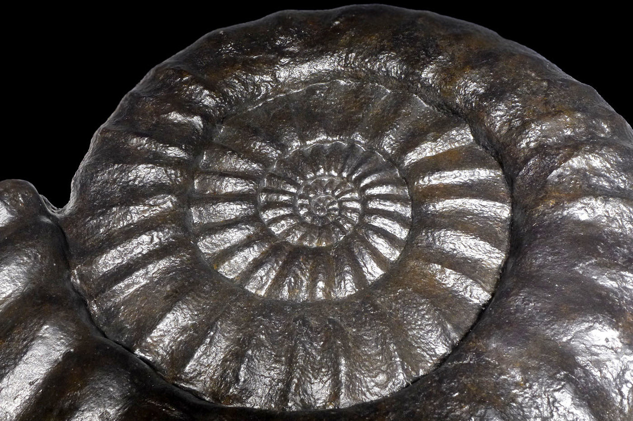 AMX392 - SUPREME GIANT ARIETITES BLACK AMMONITE FROM FRANCE AN IMPRESSIVE INTERIOR DESIGN FOSSIL
