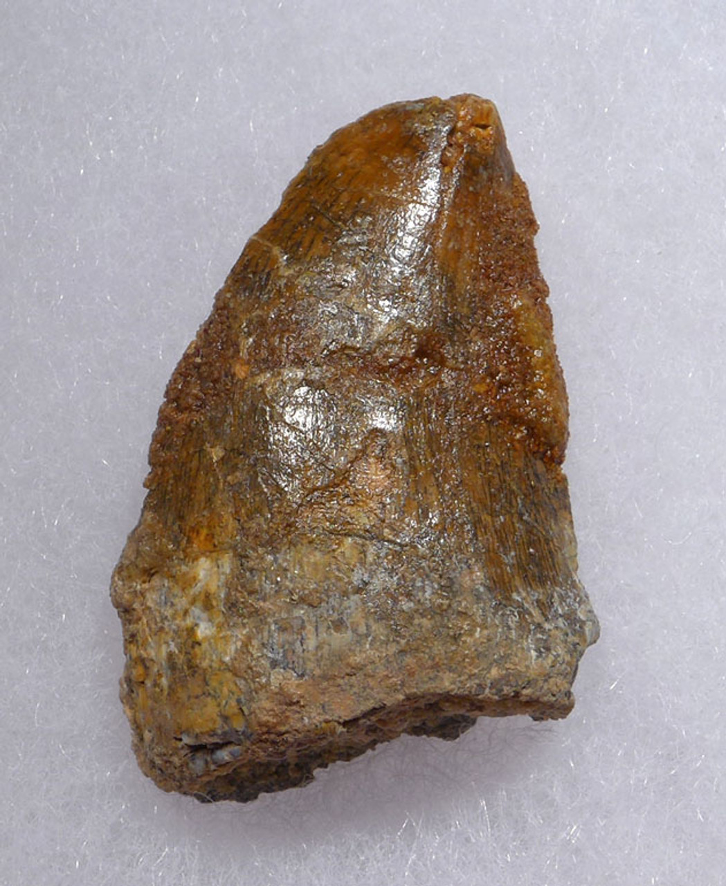 DT2-094 - CARCHARODONTOSAURUS FOSSIL TOOTH FROM THE LARGEST MEAT-EATING DINOSAUR