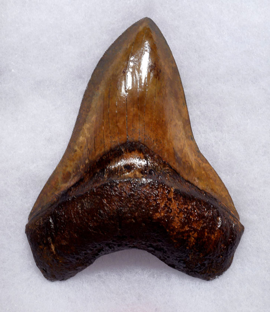 SH6-403 - FINEST COLLECTOR GRADE COPPER RED AND BROWN 5.25 INCH MEGALODON SHARK TOOTH