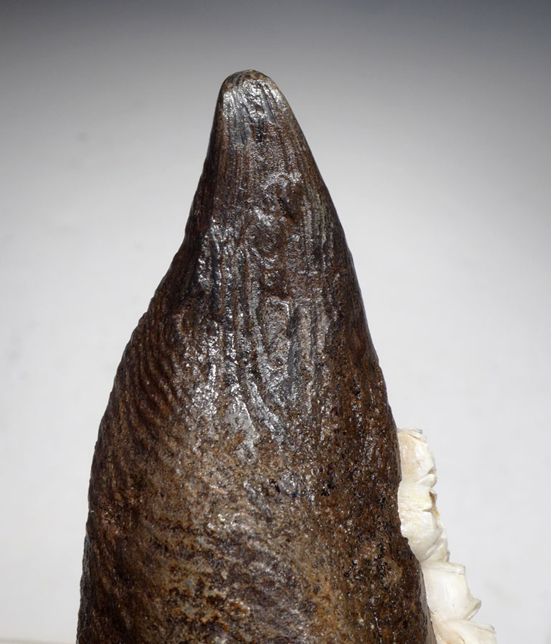 WH028 - MUSEUM GRADE ROBUST 5.25 INCH PREHISTORIC SPERM WHALE TOOTH WITH FULL CROWN AND BARNACLE ENCRUSTED ROOT