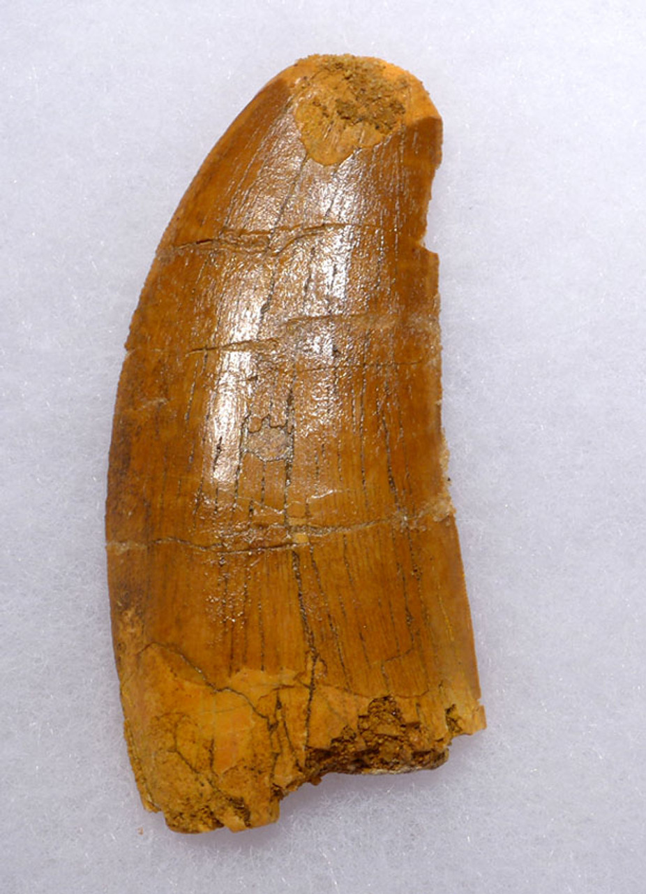 DT2-093 - 2.75 INCH CARCHARODONTOSAURUS FOSSIL TOOTH FROM THE LARGEST MEAT-EATING DINOSAUR