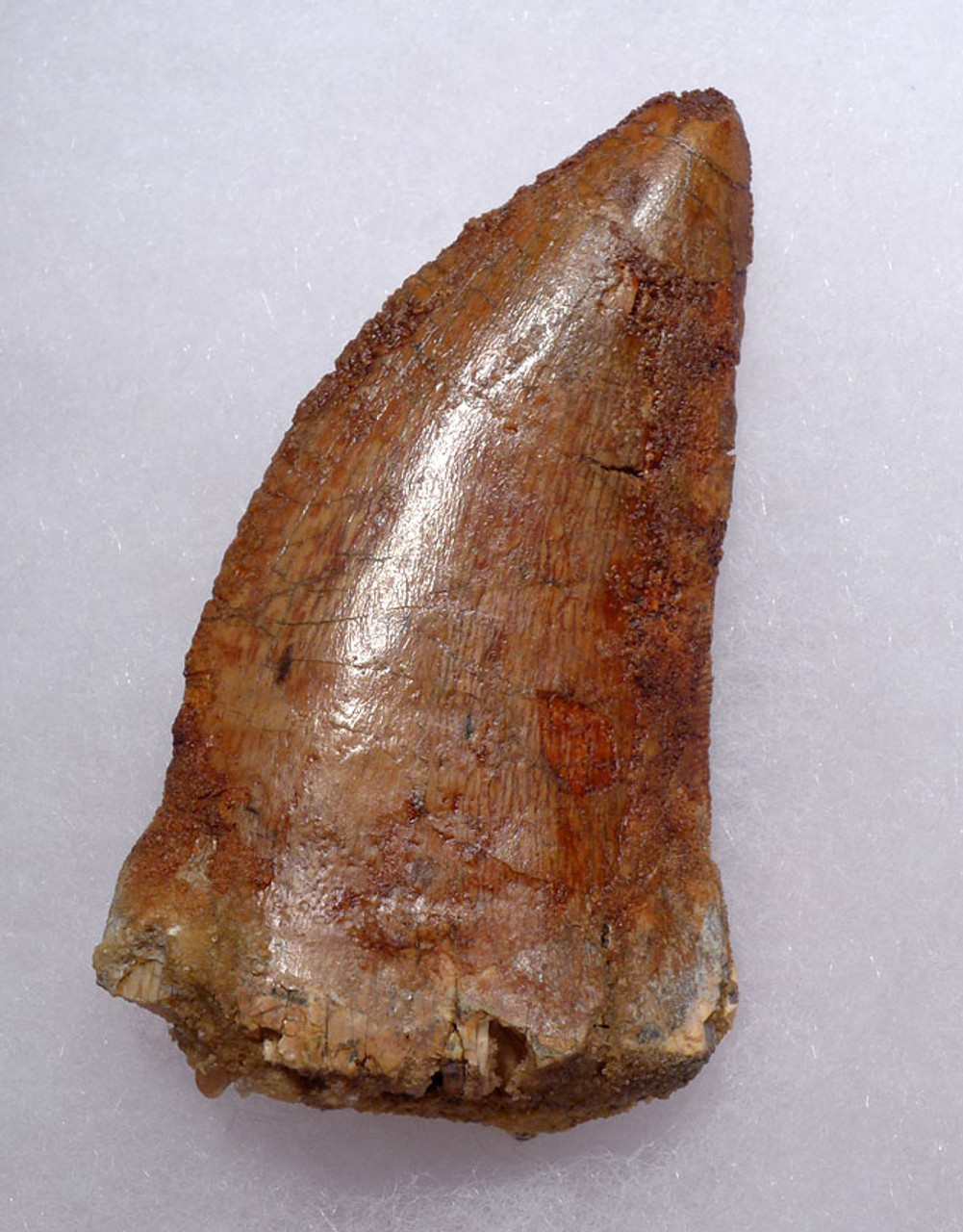 DT2-092 - LARGE 3 INCH FOSSIL CARCHARODONTOSAURUS TOOTH FROM THE LARGEST MEAT-EATING DINOSAUR