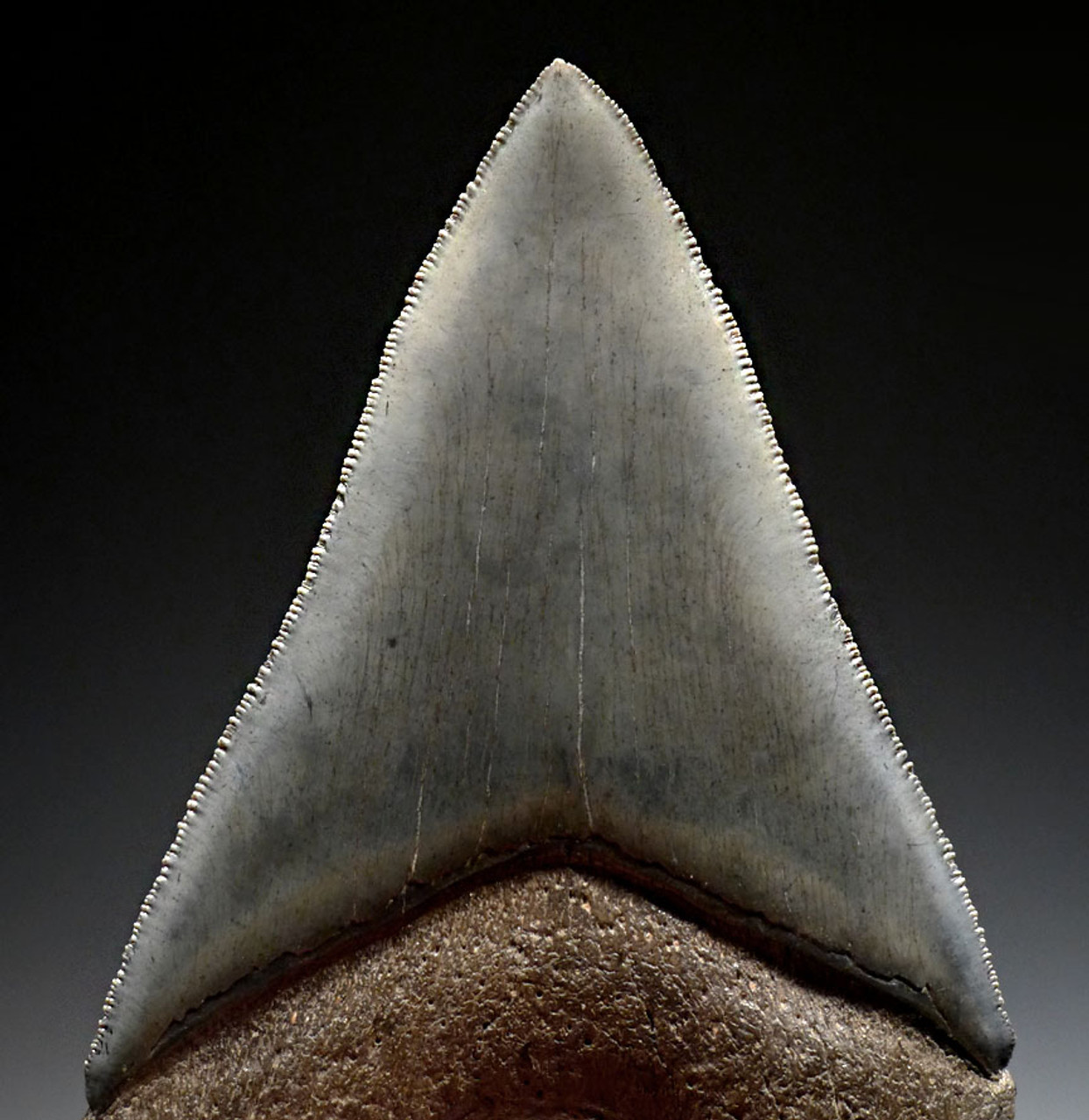 SH6-407 - COLLECTOR GRADE MEGALODON SHARK STABBING LOWER JAW TOOTH 4.6 INCHES LONG