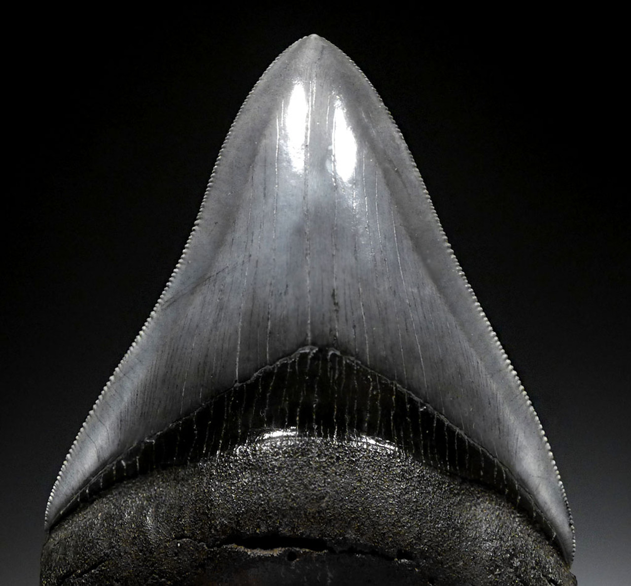 SH6-408 - FINEST GRADE 4.25 INCH MEGALODON SHARK TOOTH WITH CHATOYANT BLUE-GRAY